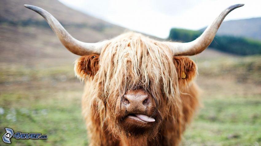 Büffel, Stirnlocke, hängende Zunge