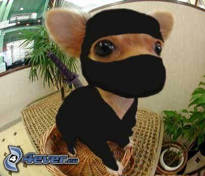 Chihuahua, ninja