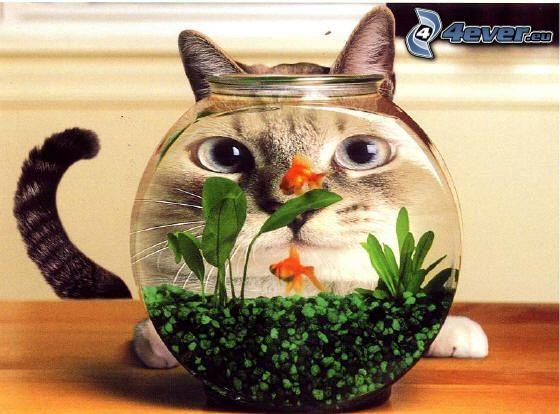 Gesicht der Katze, Aquarium, Goldfisch