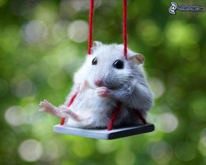 Hamster, Schaukel