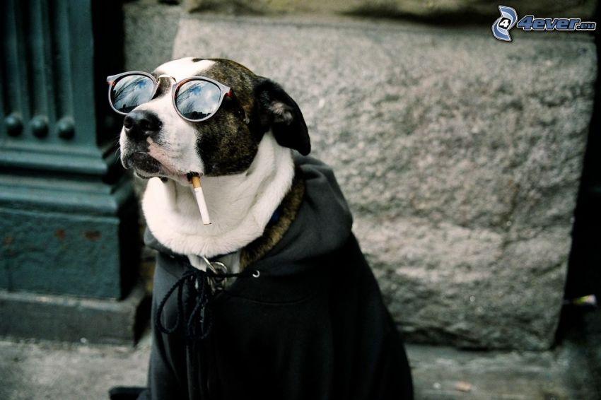 Hund in Gläsern, Zigarette, Sonnenbrille, Jacke