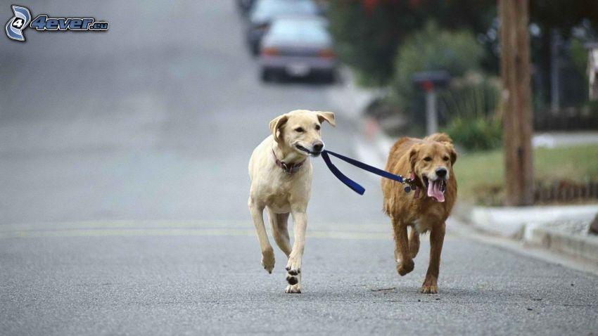 Hunde, Laufen, Straße