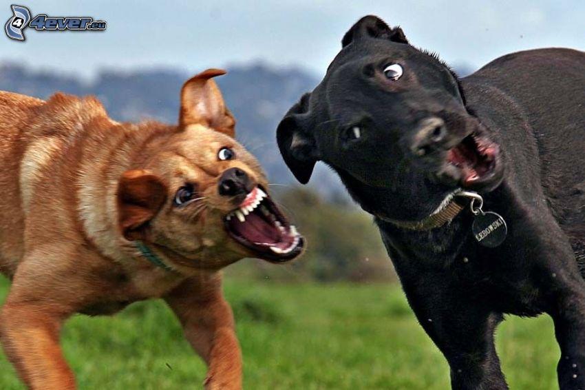 Kampf, Hunde, Schnappschuss