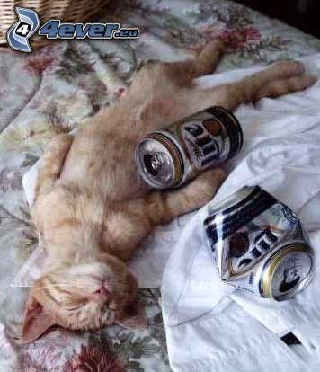 Katze, Bier, Alkoholiker, betrunkene Katze