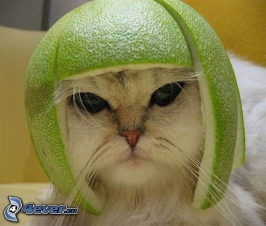 Katze, orange, Helm
