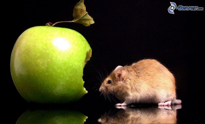 Ratte, grüner Apfel