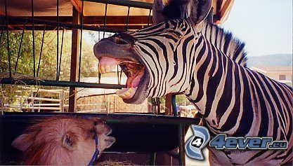 Zebra, Zähne