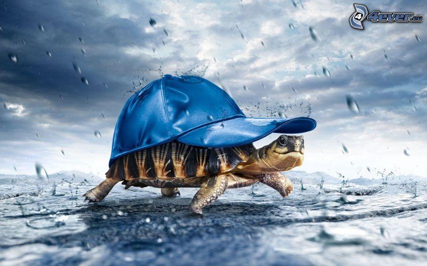 Schildkröte, Baseballcap, Regen