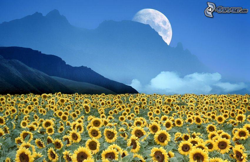 Sonnenblumenfeld, Hügel, Mond