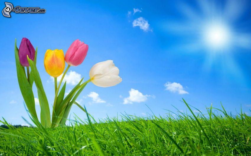 Tulpen, Sonne, Himmel, Gras