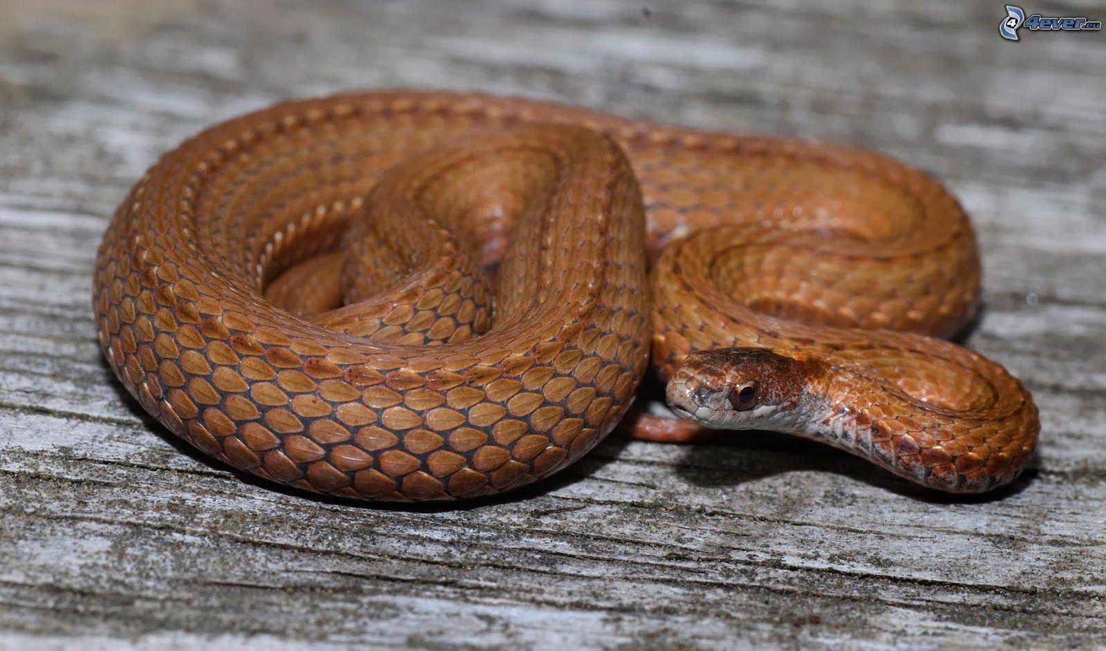 hawaii brown snakes - HD1600×942