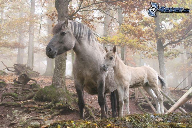 vita hästar, skog
