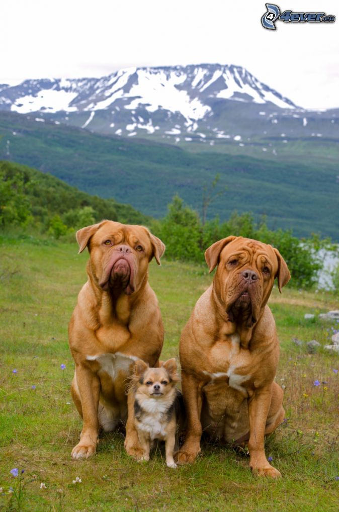 Dogue de Bordeaux, terrier, snöigt berg