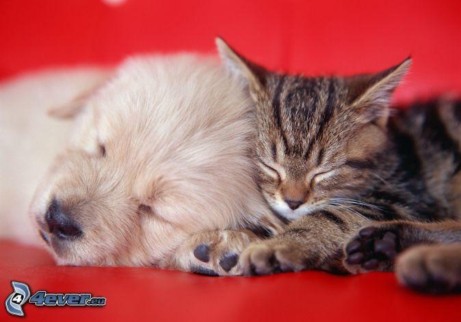 hund och katt, sovande hund, sovande katt, valp, kattunge