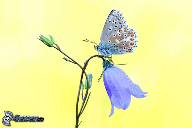 fjäril på en blomma, lila engelska blåklockor