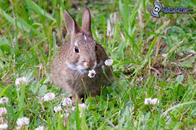 kanin, gräs, klöver