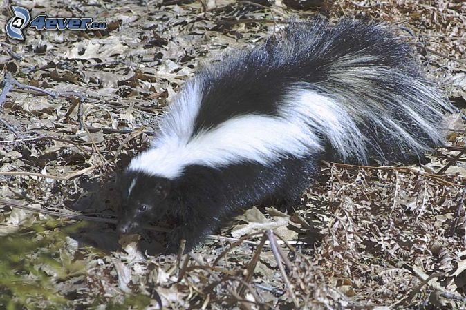 skunk, torra löv
