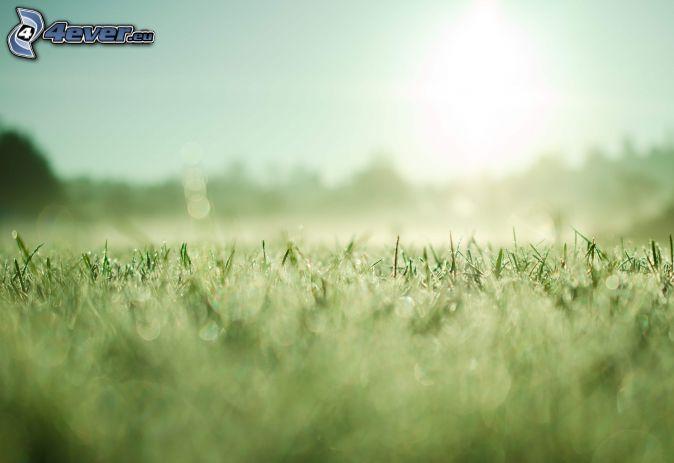 gräsmatta, sol