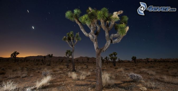 Joshua Tree National Park, träd, natthimmel