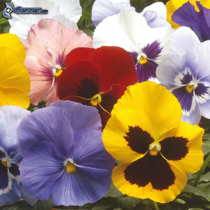 violer, färgglada blommor