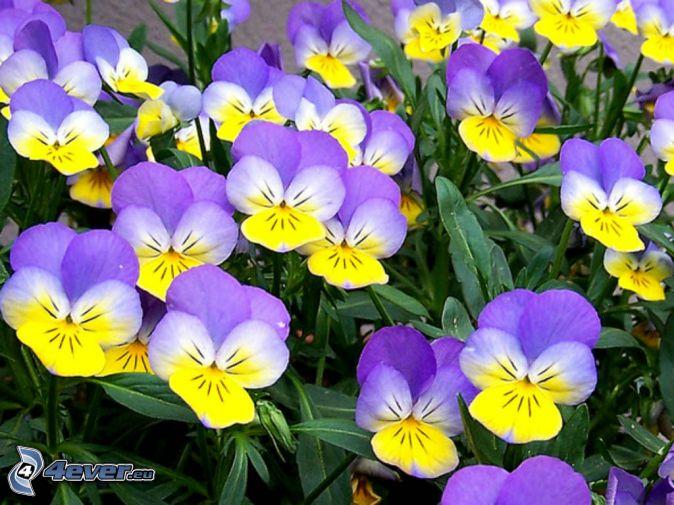 violer, gula blommor, lila blommor