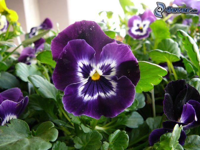 violer, lila blommor, gröna blad