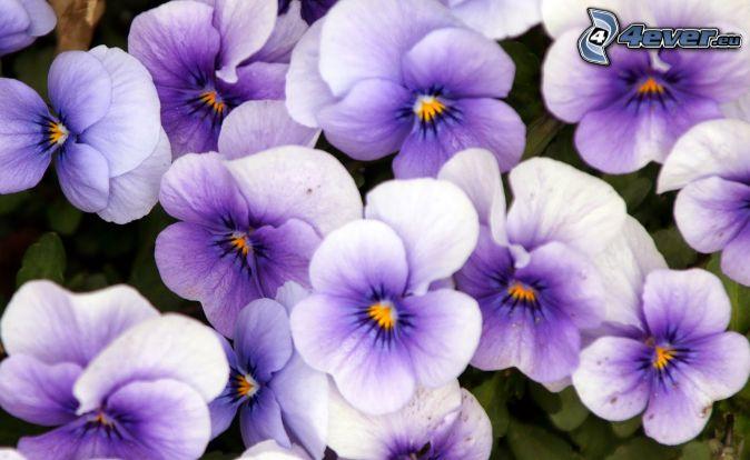 violer, lila blommor