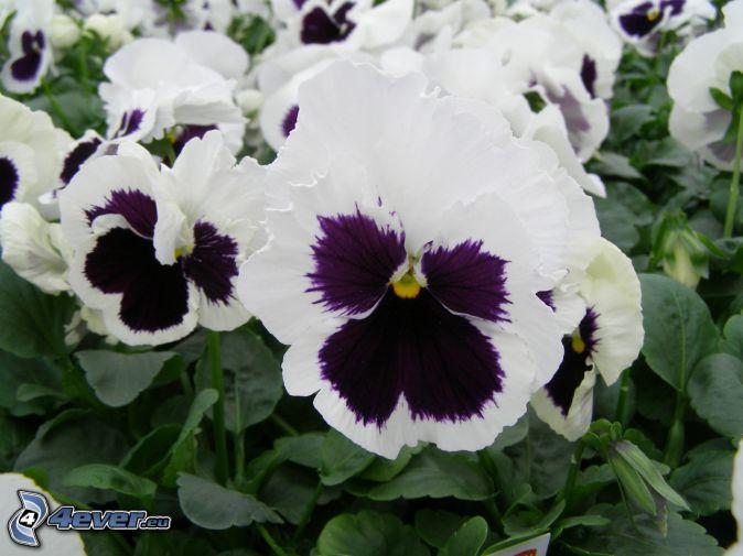 violer, vita blommor, lila blommor