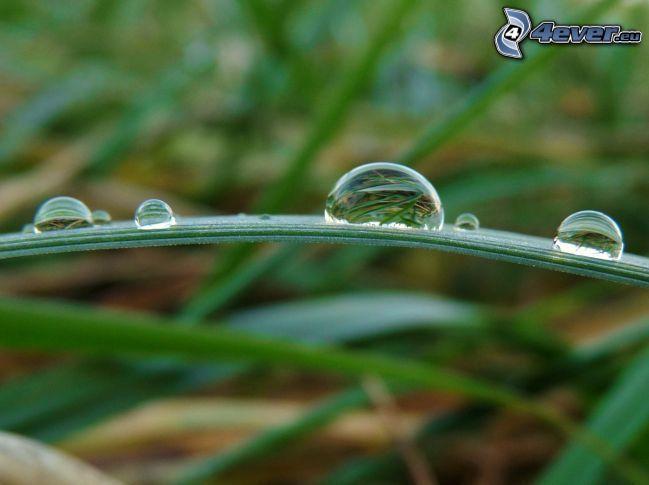 daggdroppar, grässtrå, gräs