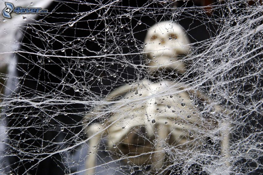 daggtäckt spindelnät, skelett
