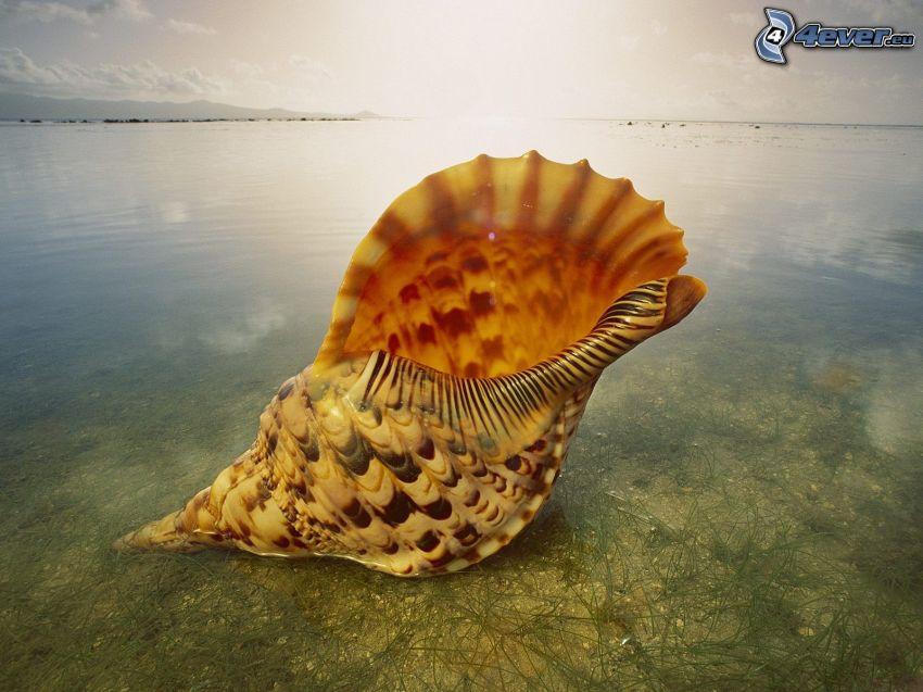 mussla, hav