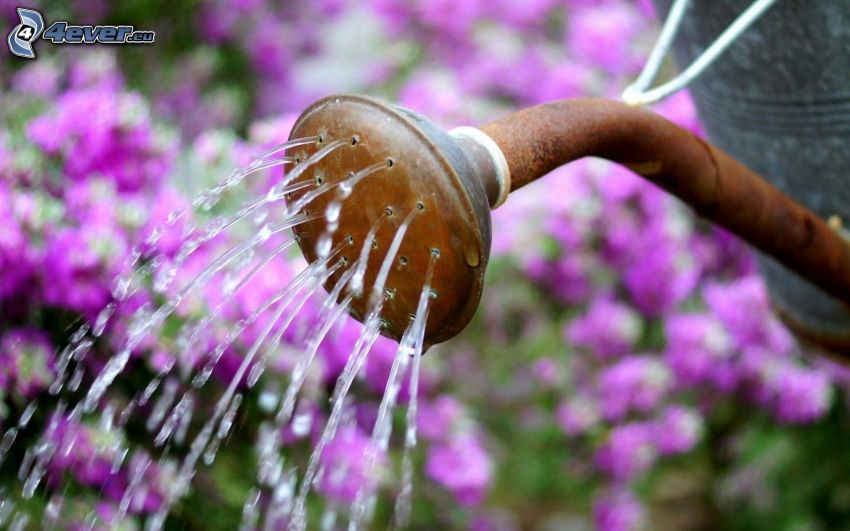 vattenkanna, vatten, lila blommor