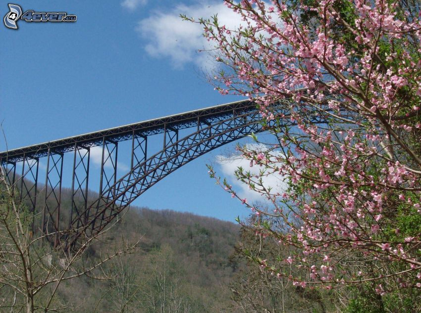 New River Gorge Bridge, blommande träd, torra träd