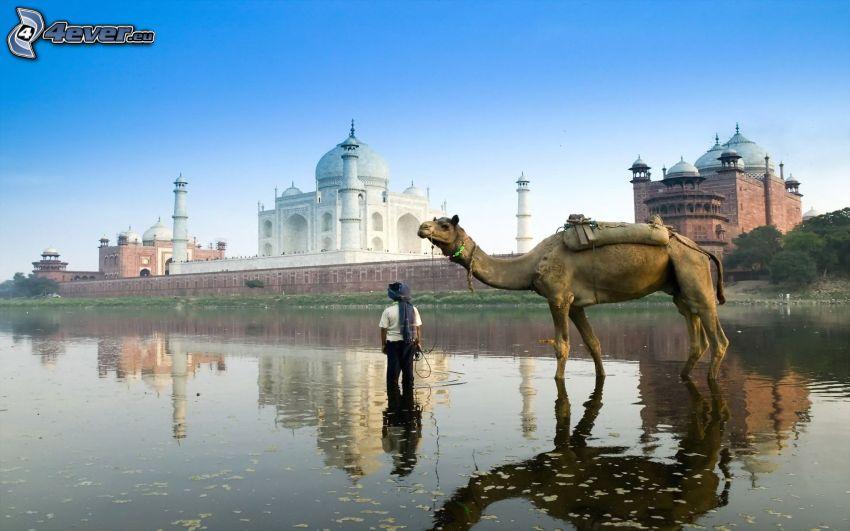 kamel, människa, Taj Mahal, Indien, vatten