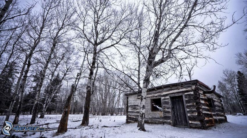övergivet hus, stuga, snöig skog, björkar