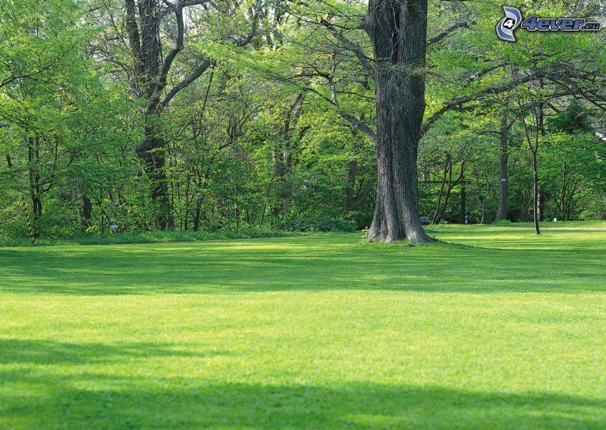 stort träd, ensamt träd, park, gräsmatta, grönska