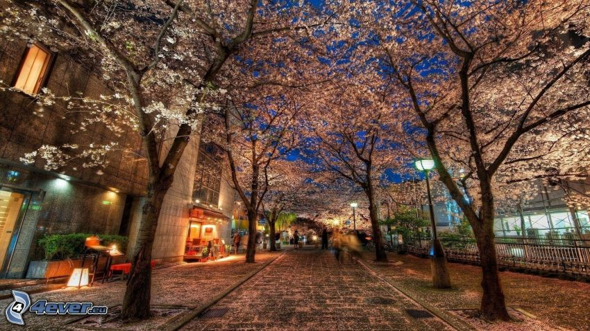 gata, blommande träd, HDR