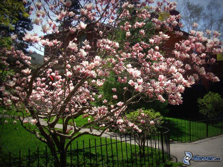 magnolia, räcke, trottoar, hus