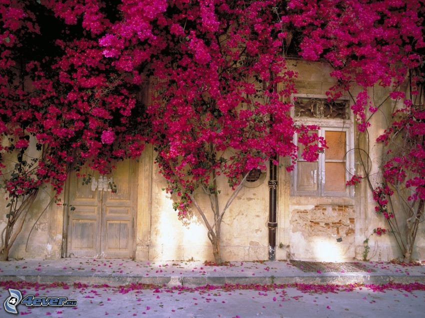 vägg, hus, rosa växter
