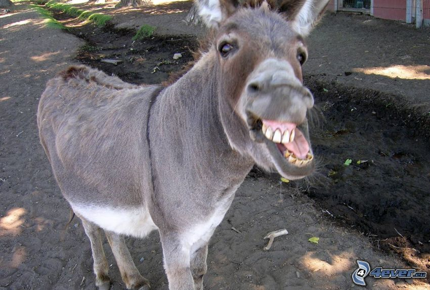 åsna, tänder
