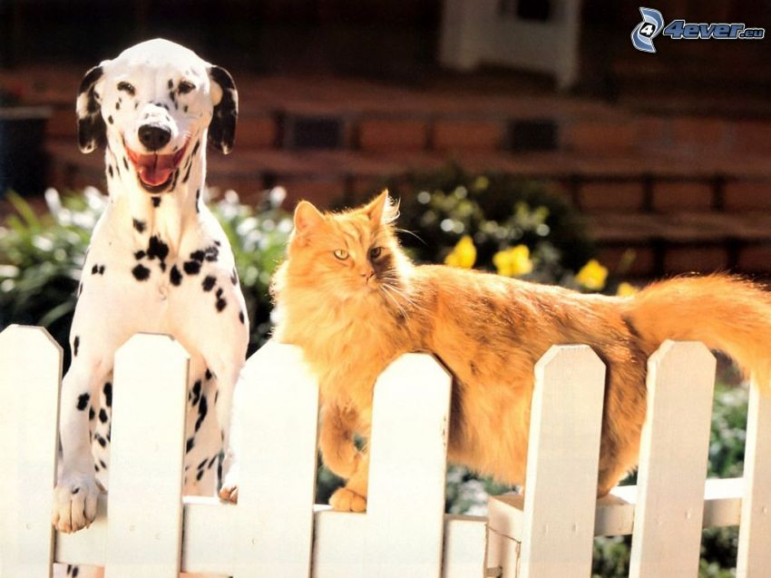 dalmatin, rödhårig katt, staket