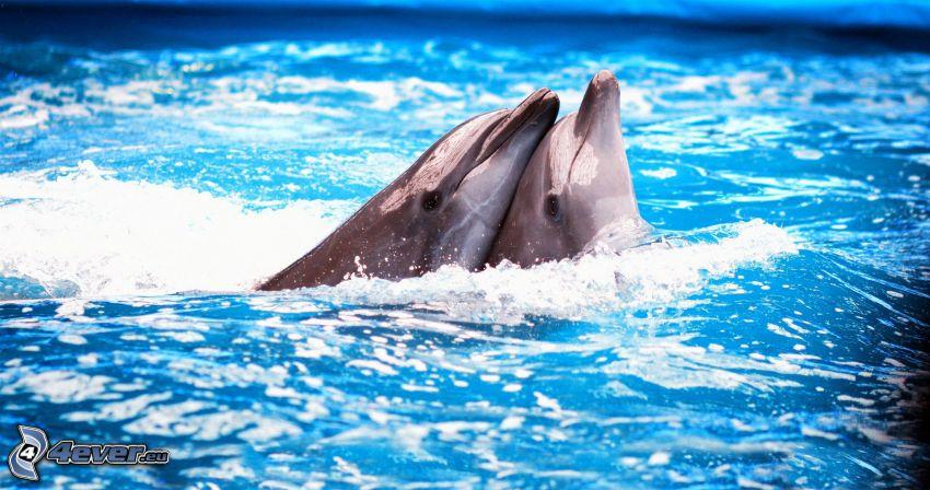 delfiner, kärlek, vatten