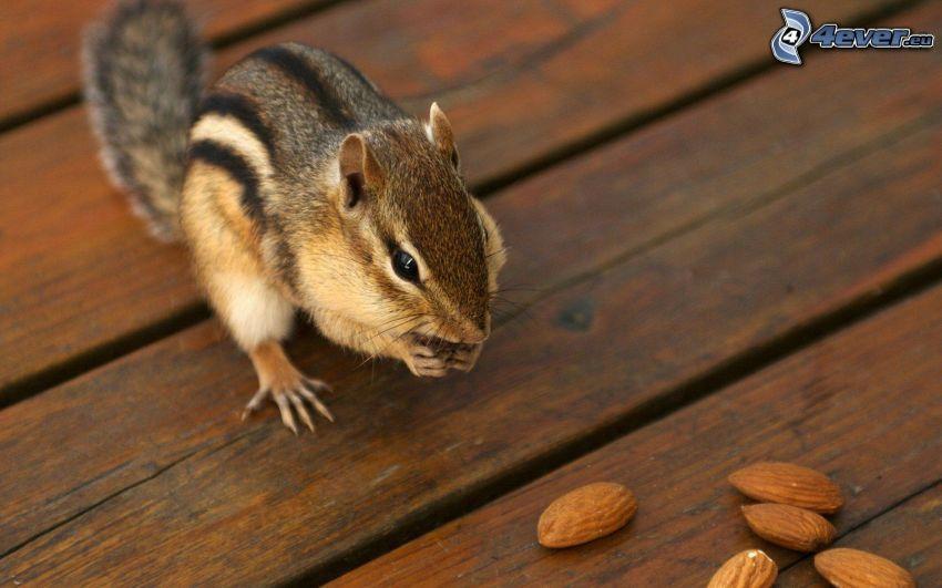 ekorre, nötter