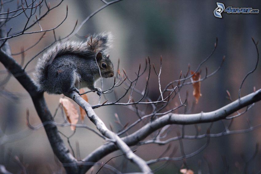 ekorre på träd, grenar