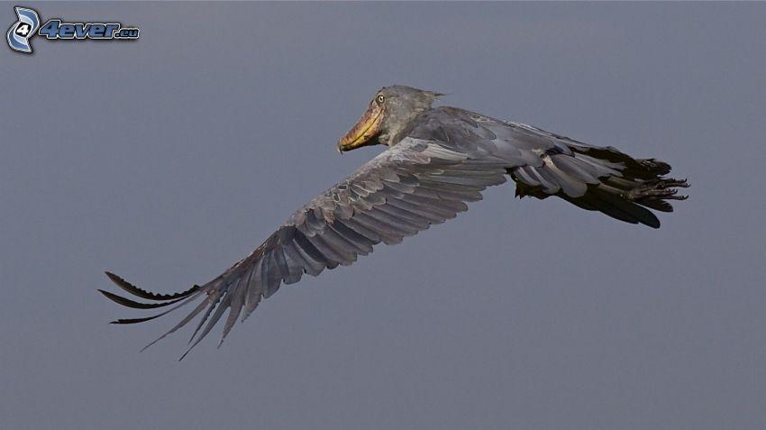 Afrikansk träskonäbb, flyg