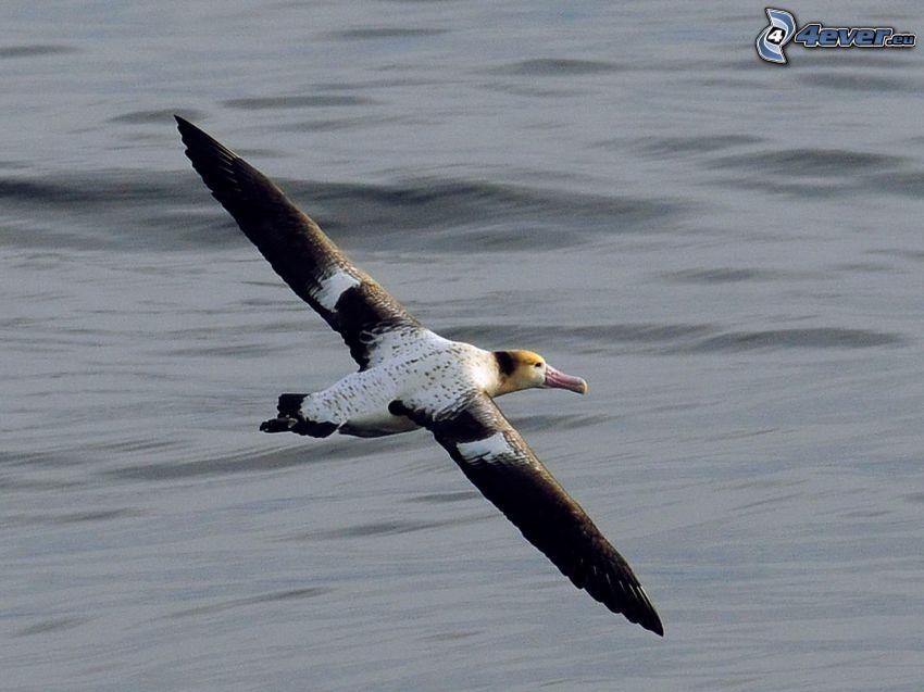 albatross, flyg