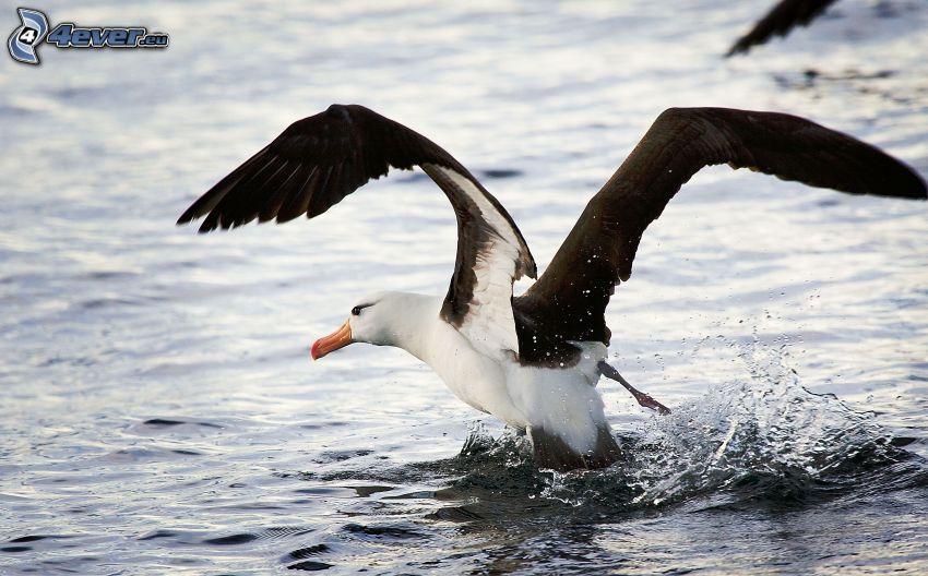 albatross, vingar, vatten
