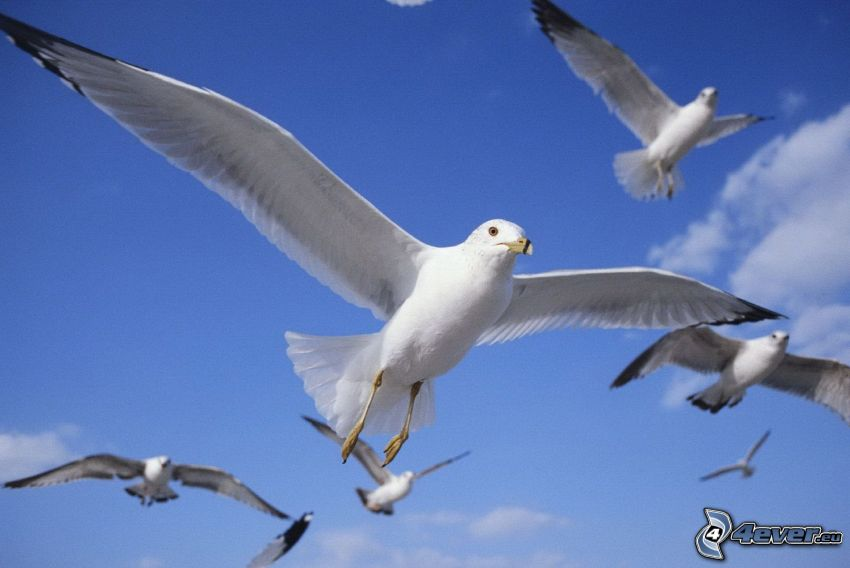 albatrosser, flyg