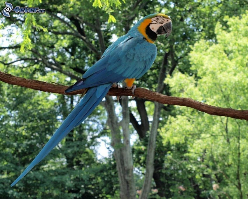 Ara papegoja, gren