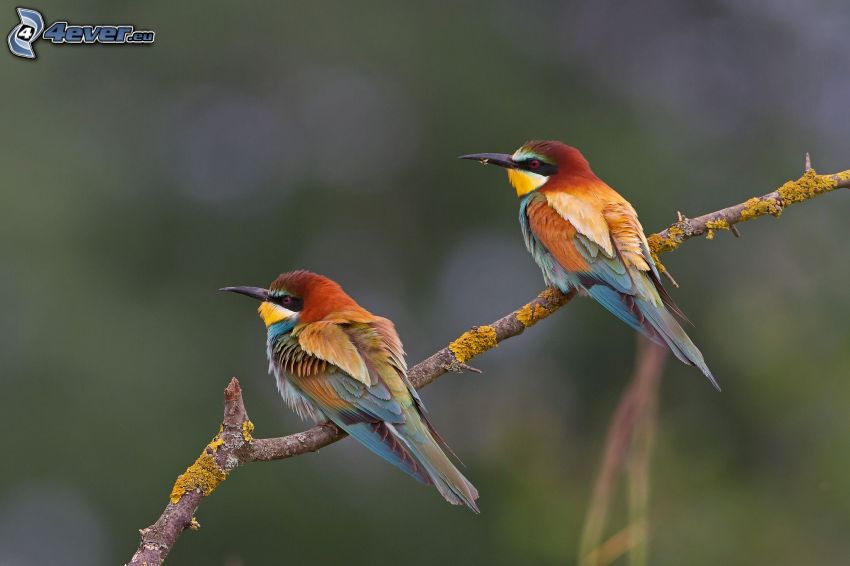 Biätare, fåglar på gren